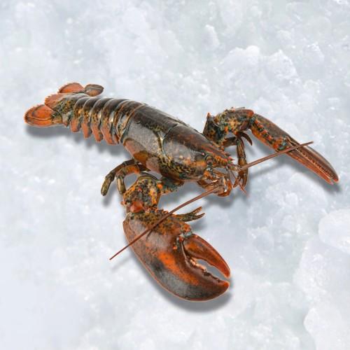 Wild-caught Boston Lobster