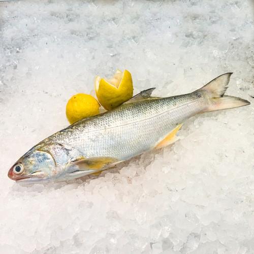 Blackspot Threadfin 小午鱼